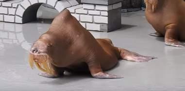 Emaciated walrus in marine park