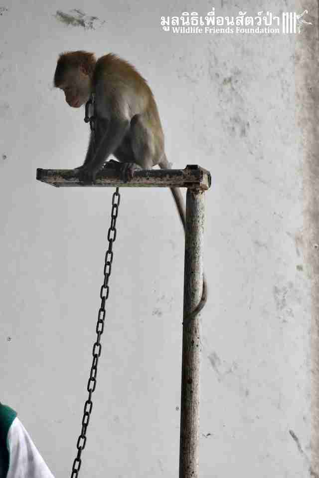 Macaque chained up in Bangkok
