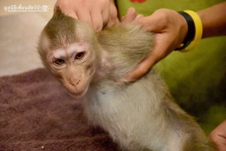 rescued macaque