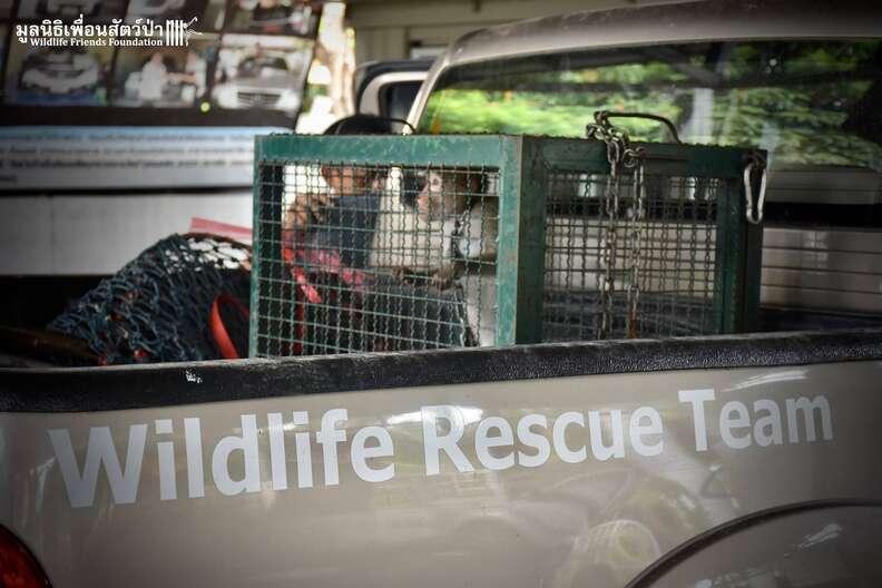 macaque going to rescue center