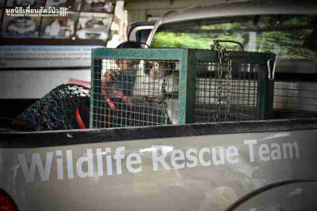 macaque going to rescue center