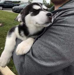 Person snuggling husky