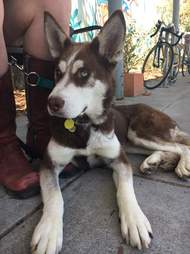 Husky sitting with person at table