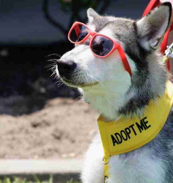 Rescued husky up for adoption