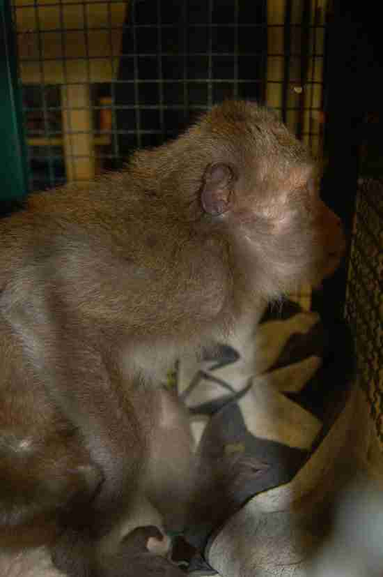 Macaque who was saved from restaurant