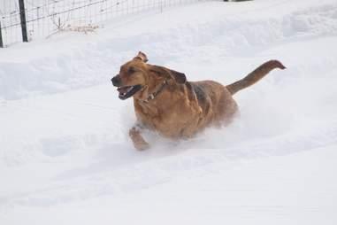 bloodhound in snow