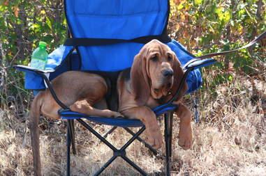 bloodhound k9 dog