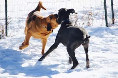 bloodhound playing