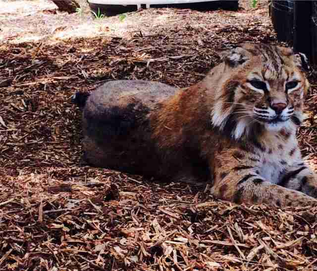Bobcat rescued from pet trade