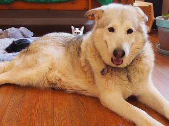 dog fosters kittens