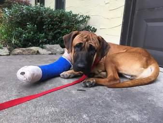 Dog with cast on leg