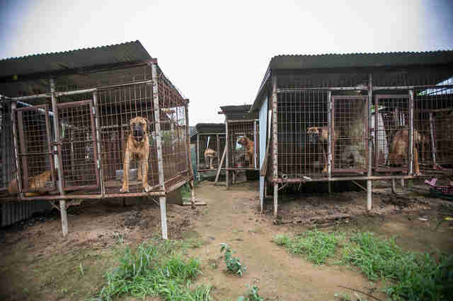 Dog meat farm in South Korea