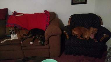 Rescue dogs on couches