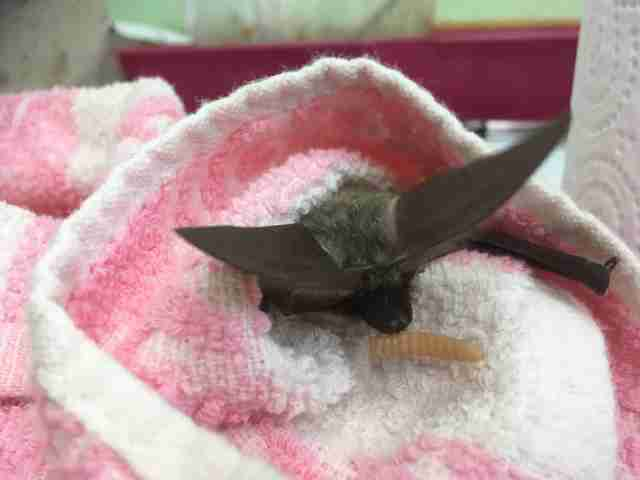 rescued baby bat