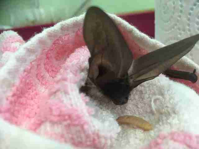 baby bat rescued