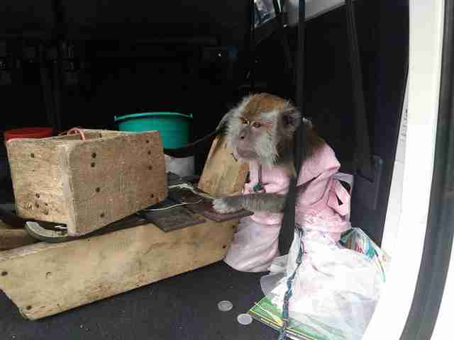 Rescued dancing monkey in car
