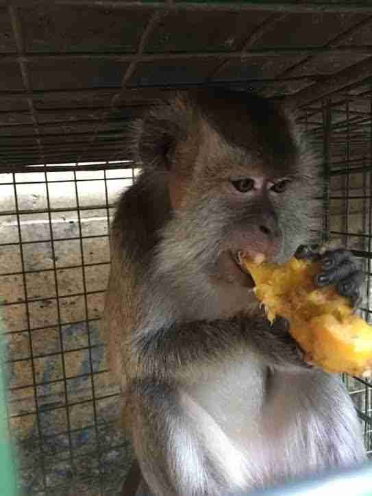 Rescued dancing monkey in enclosure