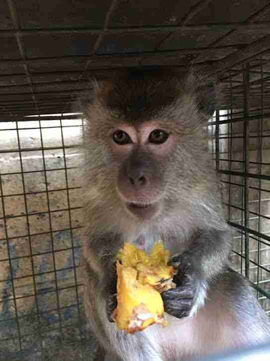Rescued dancing monkey eating