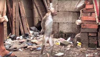 Dancing monkey being cruelly trained