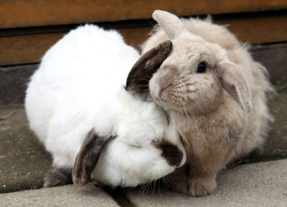 Blind Rabbit Has A Best Friend Who Helps Him Feel Safe The Dodo