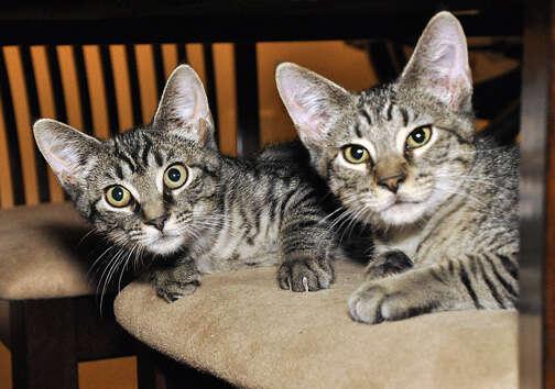 Bonded foster cat siblings