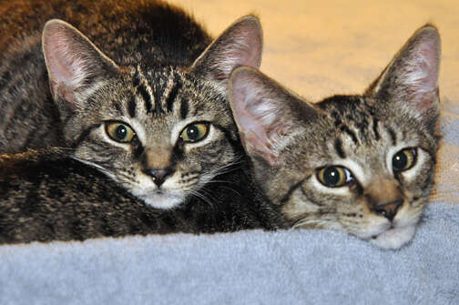 Bonded foster cats who need forever home together