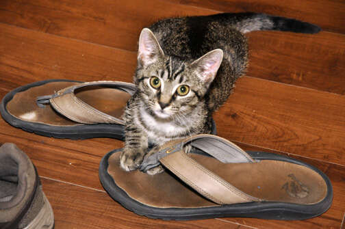 Foster cat with shoes