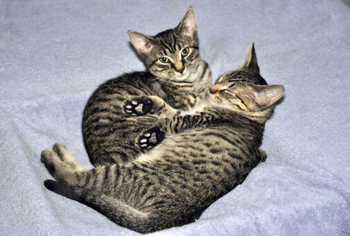 Bonded foster cats need home
