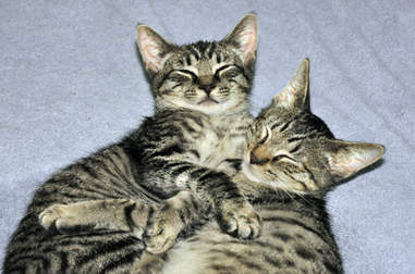 Bonded foster cats snuggle