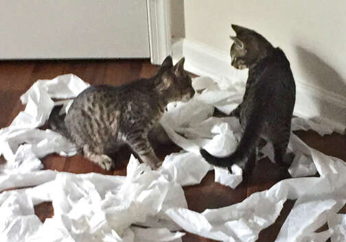 Bonded foster cats play with toilet paper