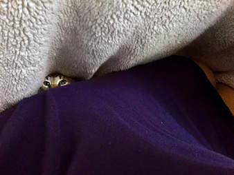 Foster cat under blankets