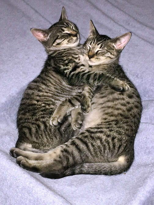 Bonded foster cats snuggling