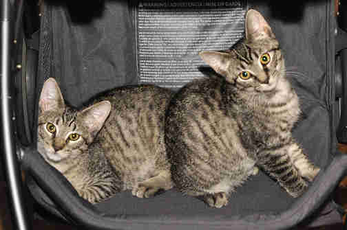 Bonded foster tabby cats