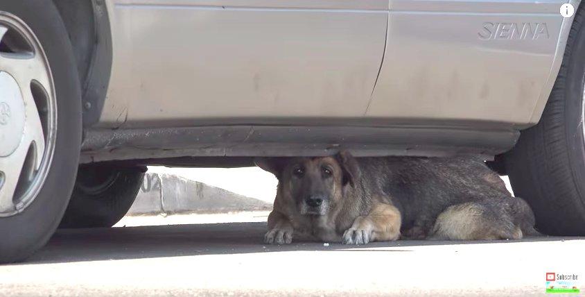 Senior Dog Abandoned On Streets Hides Under A Car Until Help Arrives