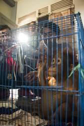 Orangutan baby in cage