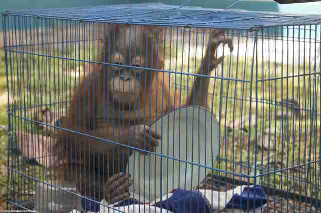 Rescued orangutan in cage