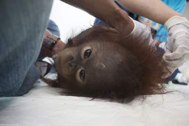 Rescued orangutan lying on back