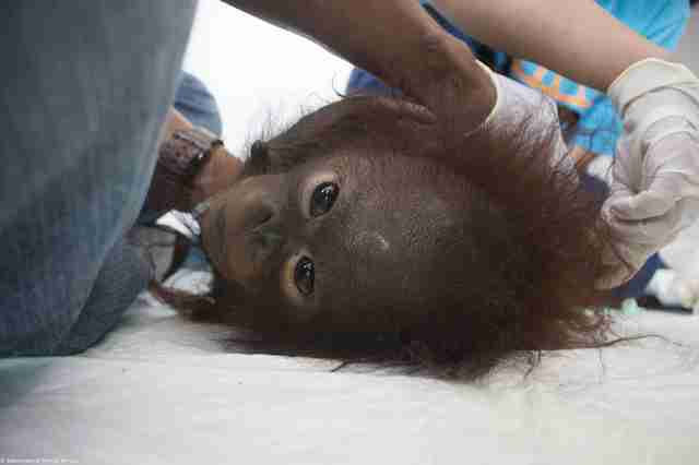 Rescued orangutan lying on back