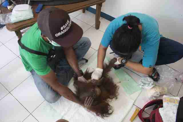 Orangutan getting vet care
