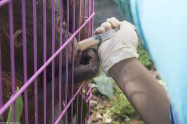 Person feeding rescued orangutan