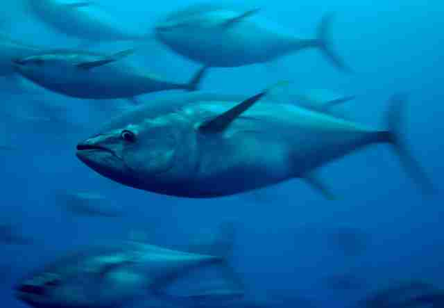 Captive bluefin tuna