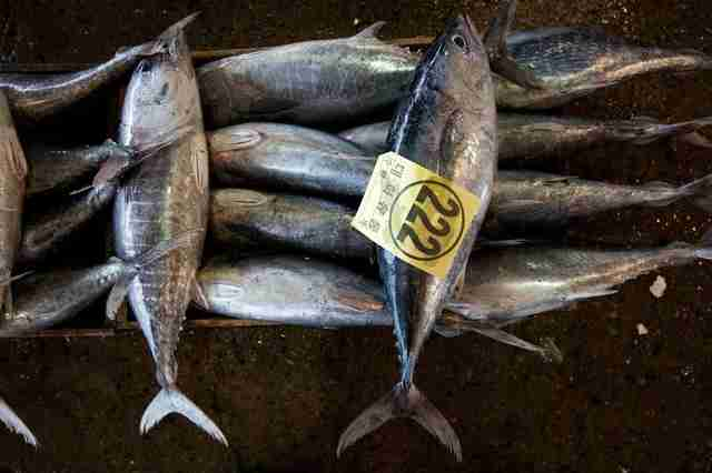 Juvenile bluefin tuna for sale at market