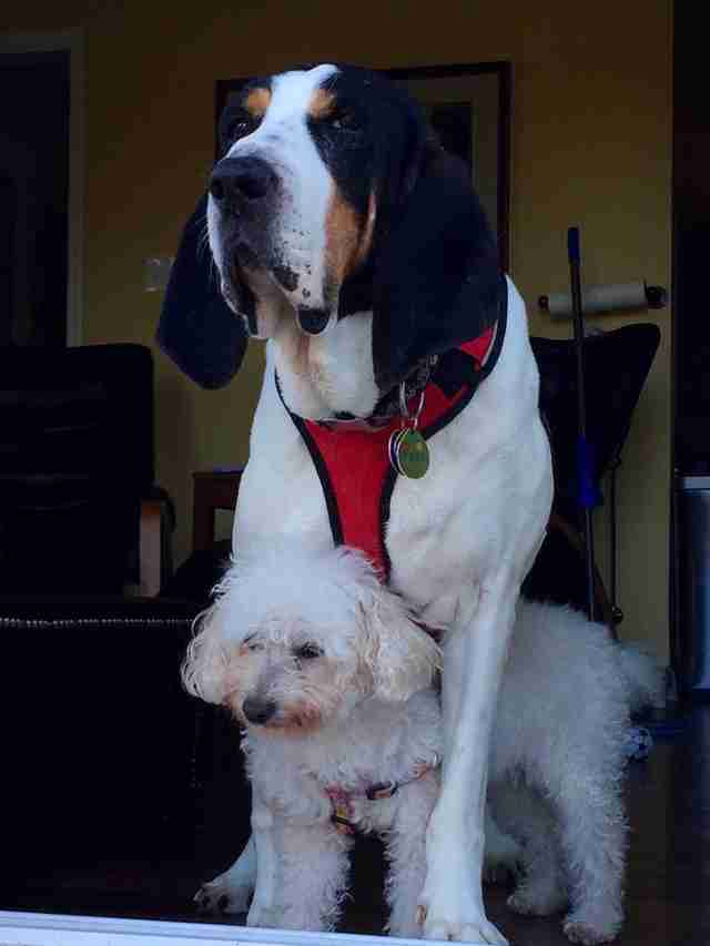 big dog standing over smaller dog