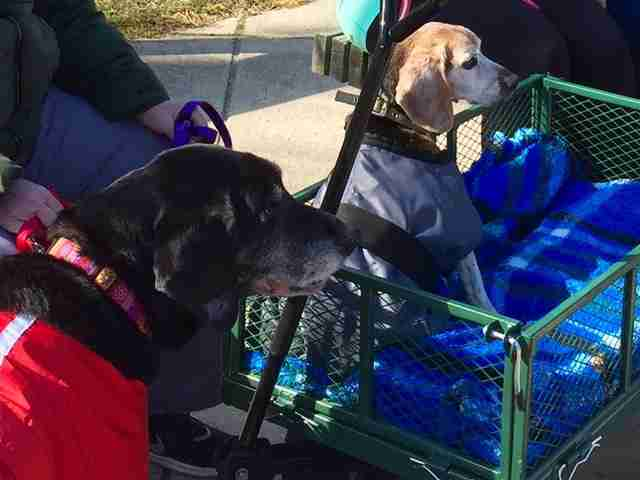 two dogs in carts