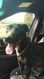 Pregnant dog dumped by breeder on ride to rescue