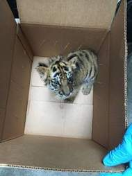 Tiger saved from smuggler