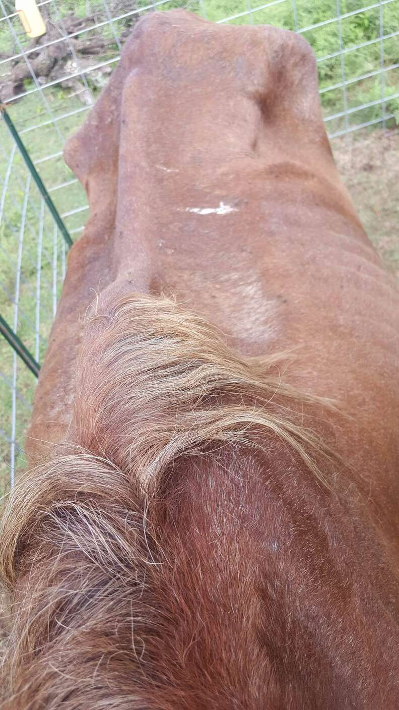 Emaciated horse saved from slaughter