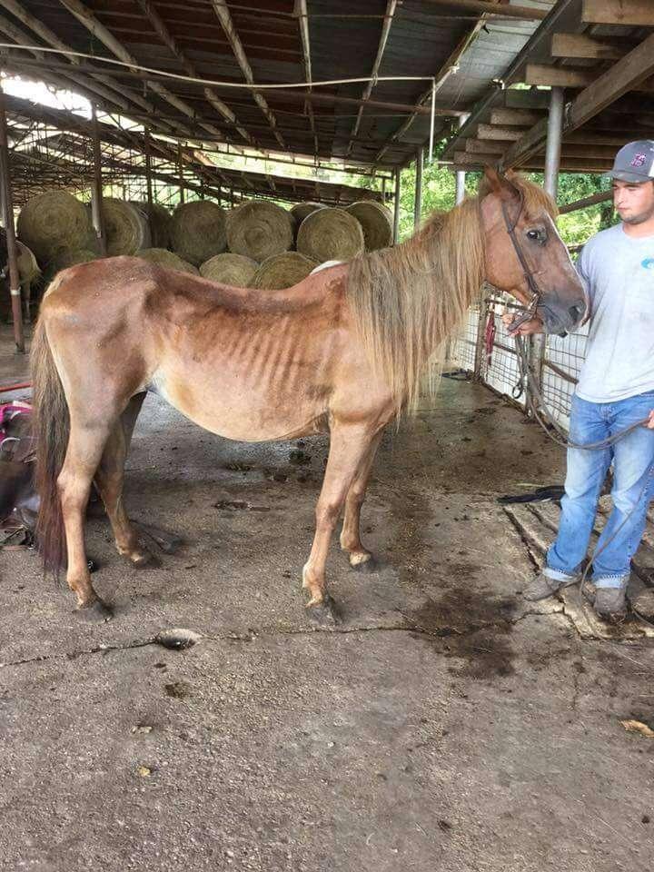 Skinny horse in ship pen