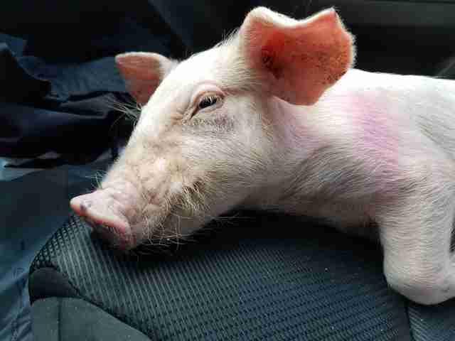 Piglet saved from highway
