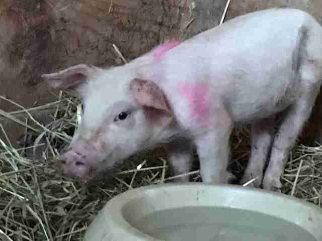 Piglet saved from highway goes to sanctuary